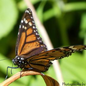 monarch 7.jpg