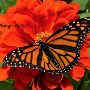 monarch 6.jpg