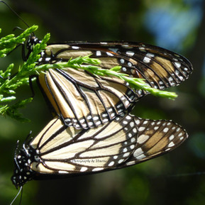 monarch mating.jpg