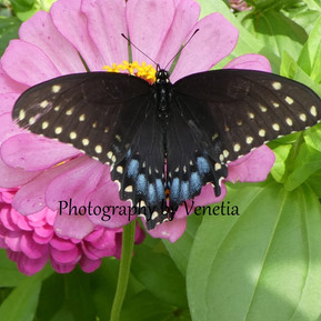 Swallowtail a.jpg
