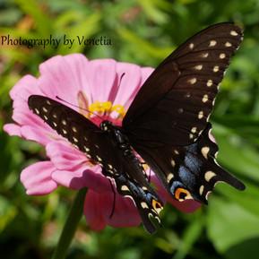 swallowtail 1.jpg