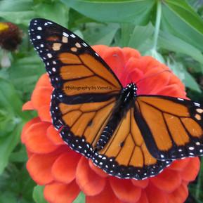 Monarch save.jpg