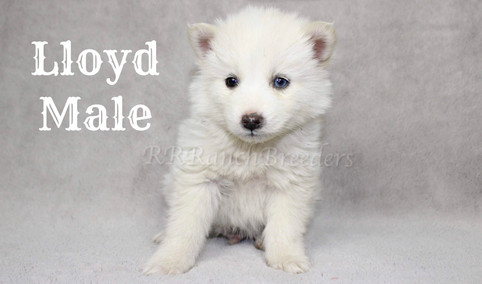 Male $1,700 Ready for home next week