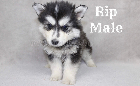 Male $2,500 Ready for home next week
