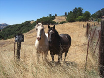 Horses at Petaluma, CA