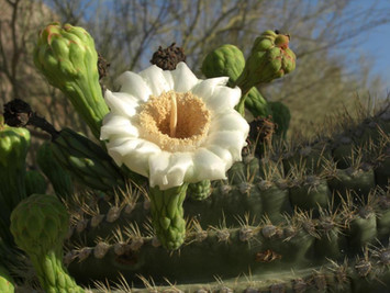 Cactus blooming in Scottsdale