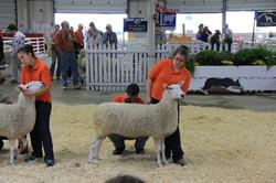 1st White Yearling Ewe, Big E 15