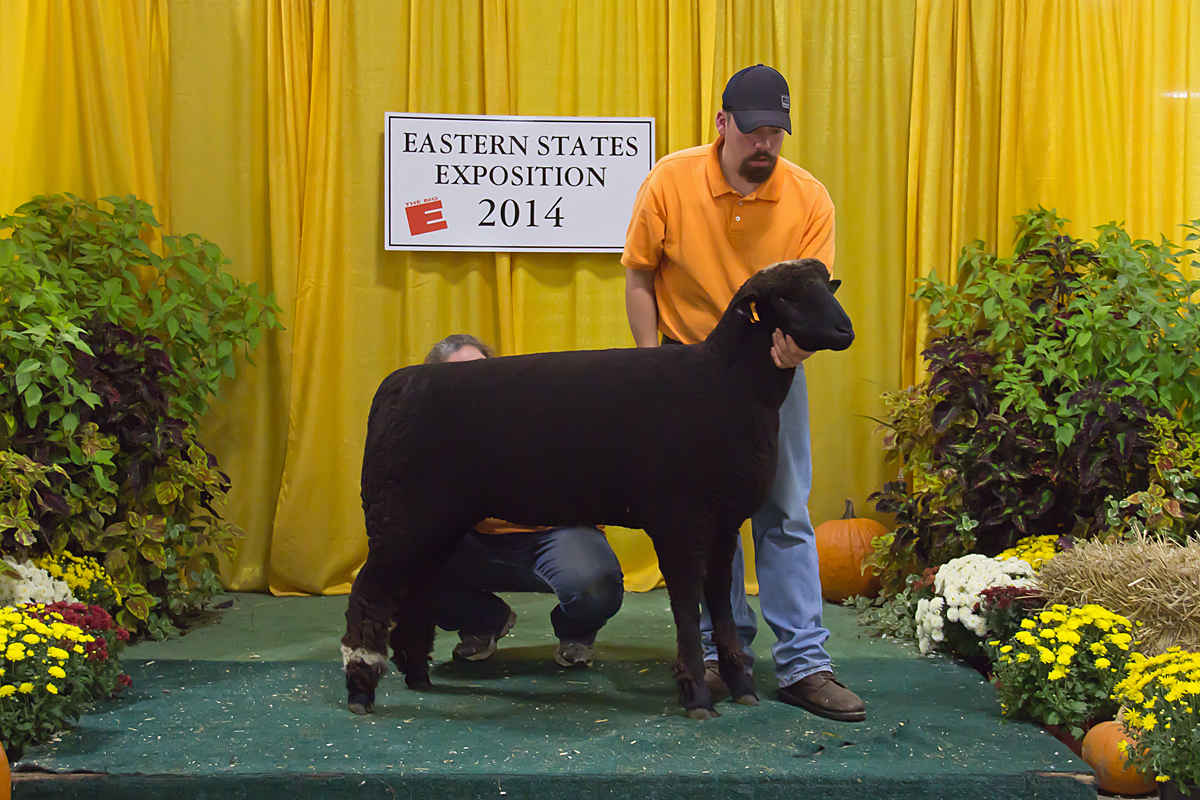 Champion Ewe, Big E 15