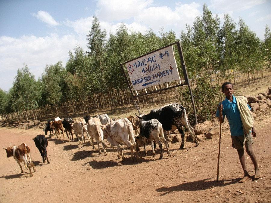 эфиопские коровы