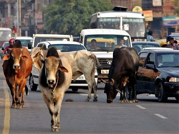 коровы в Индии всюду