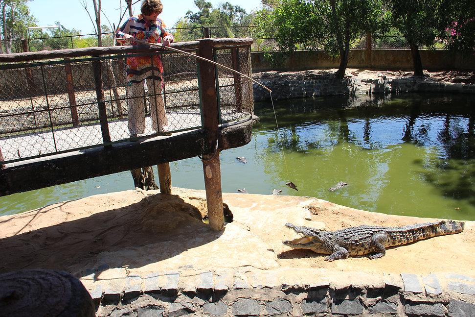 крокодил идет к ловцу