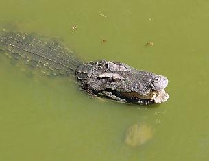 крокодил перед поимкой