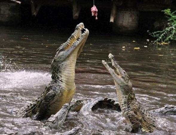 крокодилы активно клюют на удочку