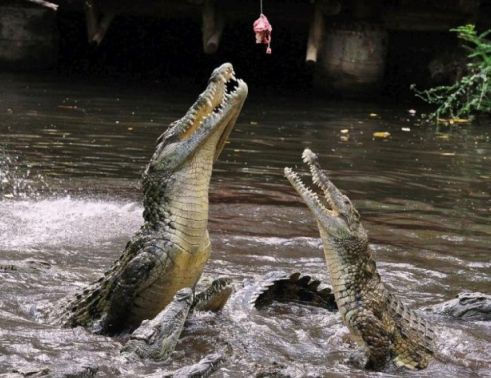 крокодил клюет на удочку