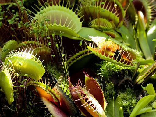 venus-flytrap.jpg