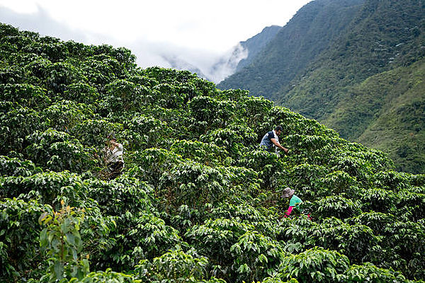 group-of-farmers-collecting-coffee-beans