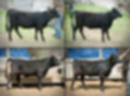 4-up heifers for sale 2018