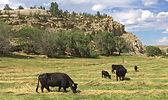 dexter cattle in pasture