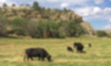 dexter cattle in pasture 2015