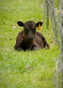dexter calf