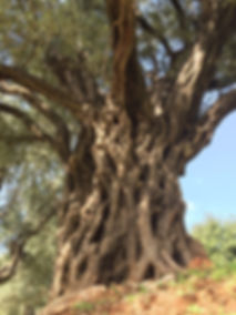 A 6,000 year old olive tree growing on the slopes of Mount Lebanon.