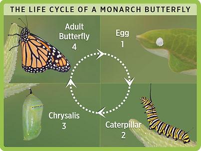 ButterflyCycle_4-3.jpg