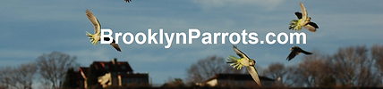 brooklyn parrots.com.png