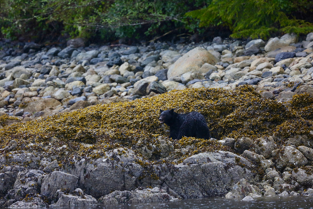 Female black bear forages for mussels on a rocky beach in coastal bc