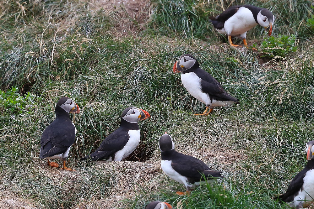 road trip, East Coast, Canada, summer, St. John's, Newfoundland, Gatherall's, Tour, Puffin