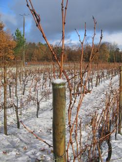 Vignobles en hiver