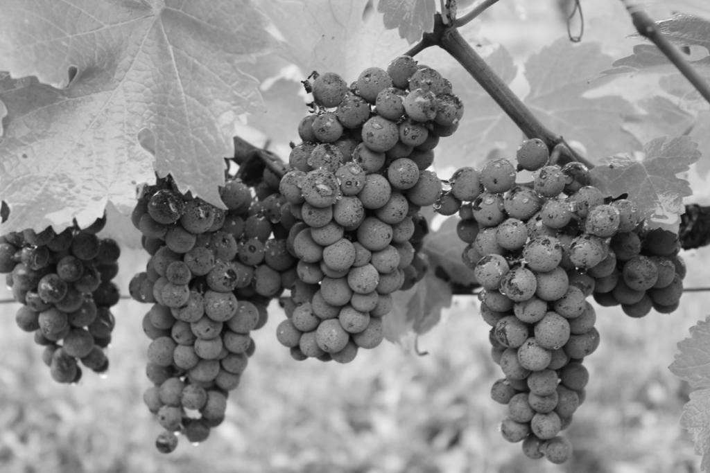 Grappes de raisin 2012