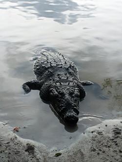 Carlos - A huge local croc