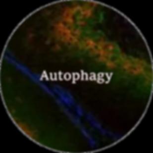 Autophagy.png