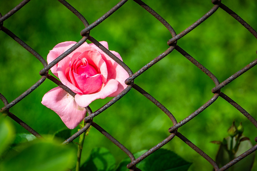 Pink Rose Behind Fence
