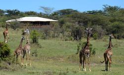 Mara bushtops giraffe