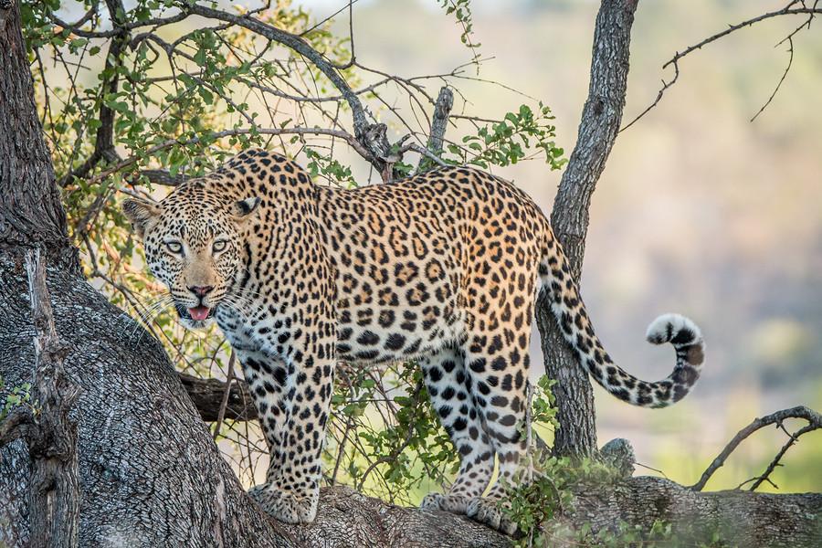 Leopard African Safari