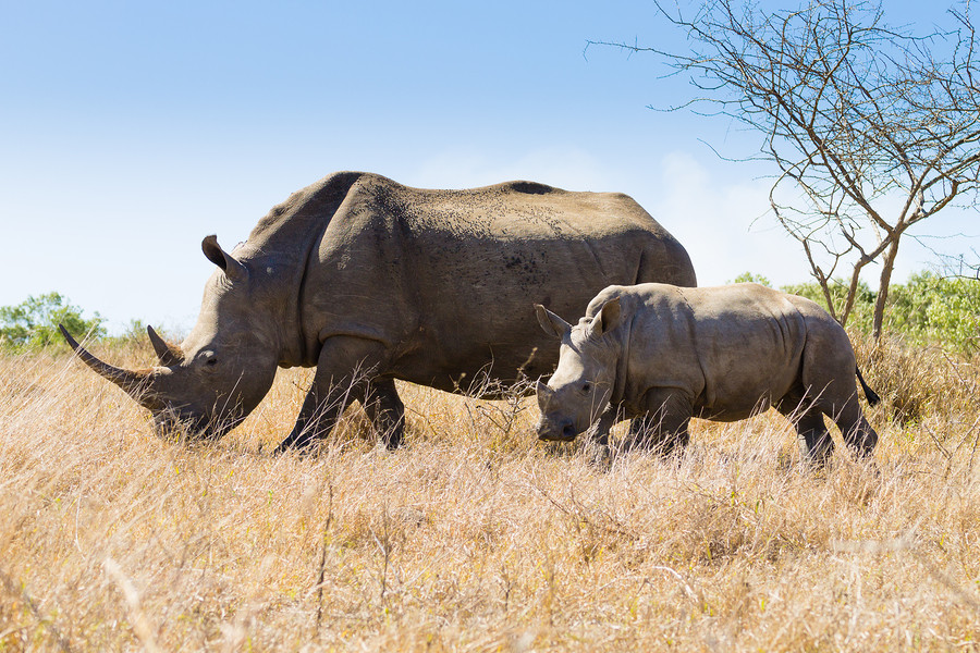 Rhinoceros African Safari