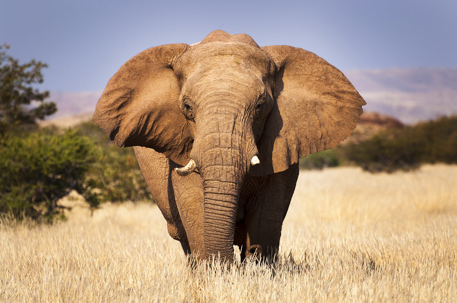Elephant African Safari