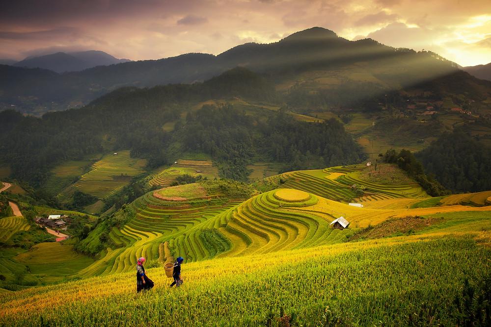 Vietnam Rice Paddies during summer
