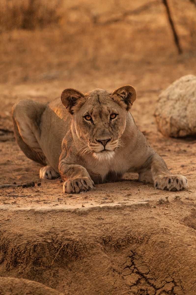African Safari Lion