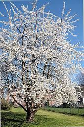 Skeena Cherry Tree