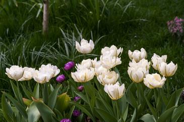 Tulpen im Rasen