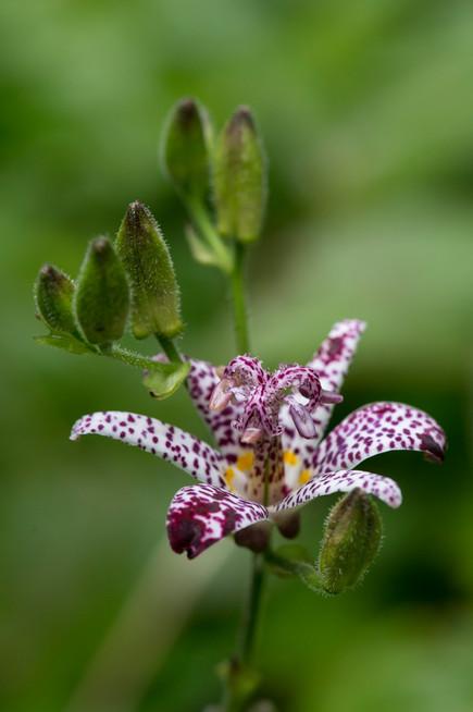 Tricyrtis formosana 'Purple Beauty'
