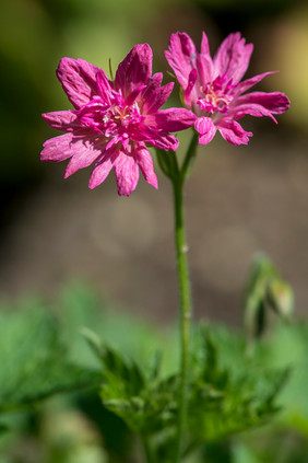 Geranium 'Southcombe Double'