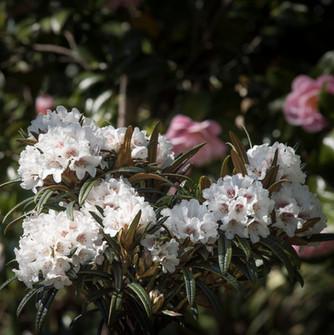 Rhododendron als Blattschmuckstaude