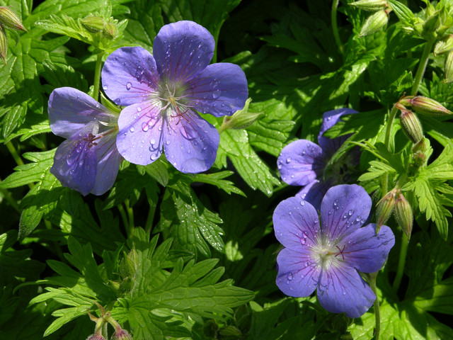 Geranium x pratense 'Brookside'