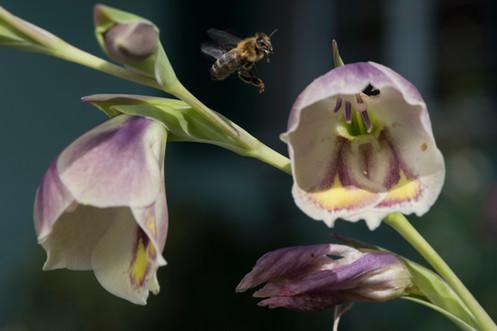 Gladiolus papilio aus Südafrika