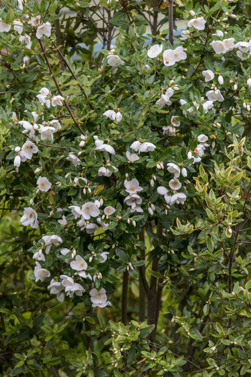 Eucryphia, made in England