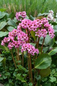 Bergenia cordifolia 'Rosi Klose'