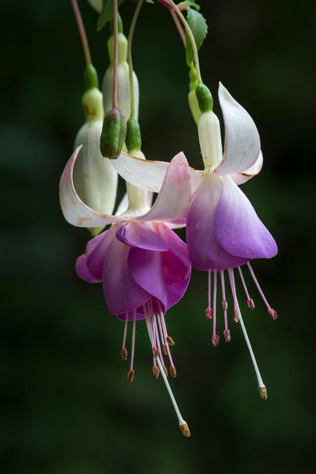 Fuchsia 'Sarah Delta'